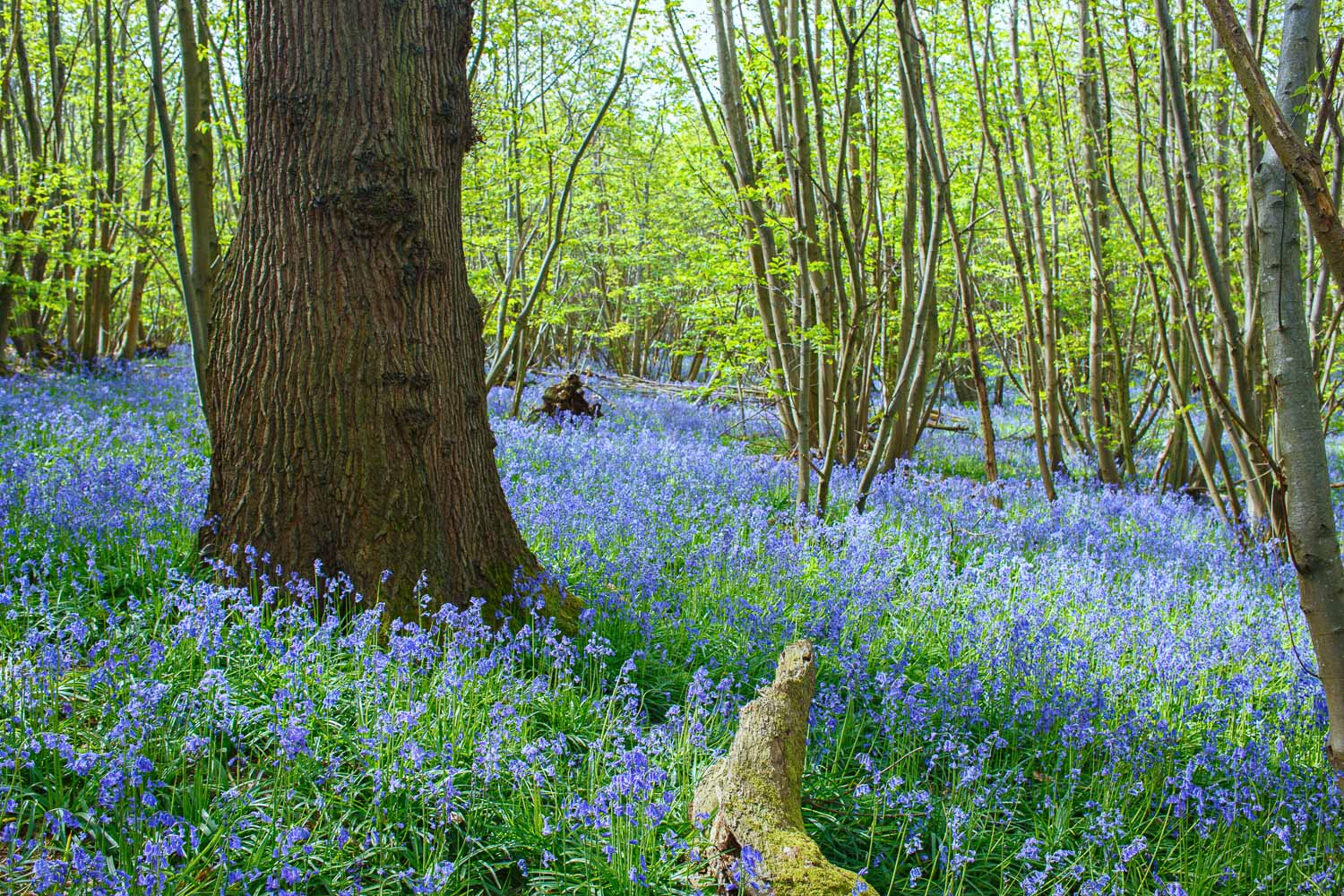 A carpet of bluebells in an ancient wood near the village of Guestling